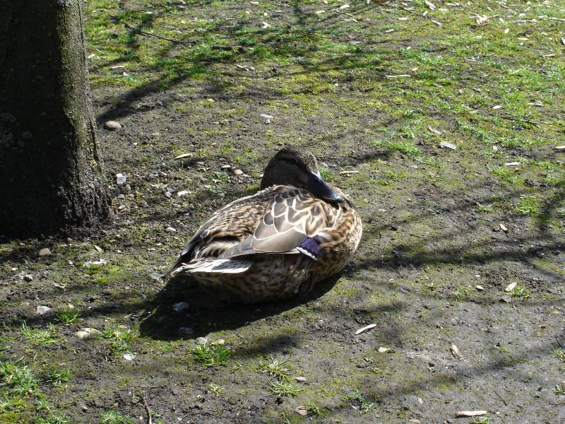 No, another image of a duck... But it is lovely, isn't it? I would eat that immediately if I could... ;-)